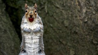 Squirrels Savagely Stealing Acorns | Spy In The Wild | BBC Earth