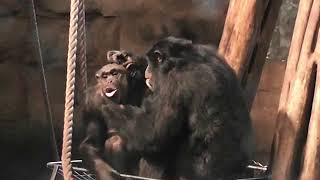 Newswise:Video Embedded chimpanzees-help-trace-the-evolution-of-human-speech-back-to-ancient-ancestors