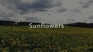Sunflowers DJI Phantom 3 4k 05AUG20 - Sunflower field