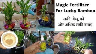 Secret of Lucky Bamboo- Care, Fertilizer & Grow with Cuttings || Magic Fertilizer