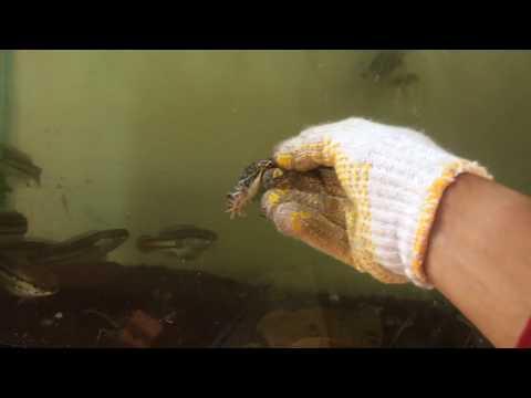 anakan toman (giant snakehead) makan kodok sawah rakus di akuarium
