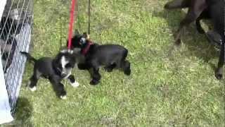 preview picture of video 'Chiots chiens chinois à crête - Journée du chien du Moulin Blanc'