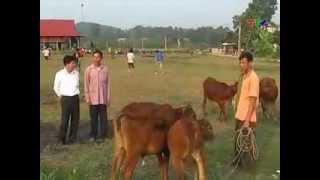 chăn nuôi : Vay bò trả bê