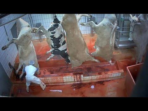 Violenza sugli animali: dietro le quinte dei mattatoi europei