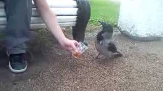 drunk raven пьяная ворона