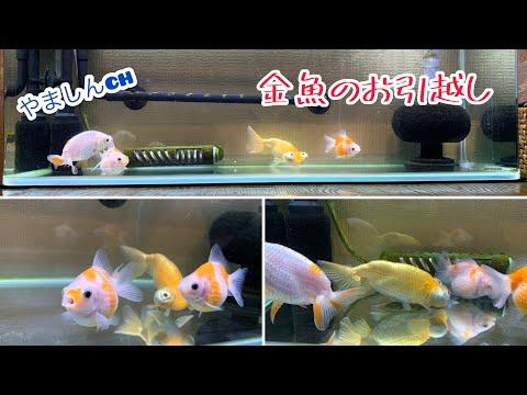 【金魚水槽】頂天眼さんと白らんちゅうさんのお引越し#頂天眼#白らんちゅう#ピンポンパール