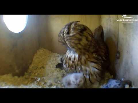 Tawny Owls: Mum & Chick Preening - 28.03.17