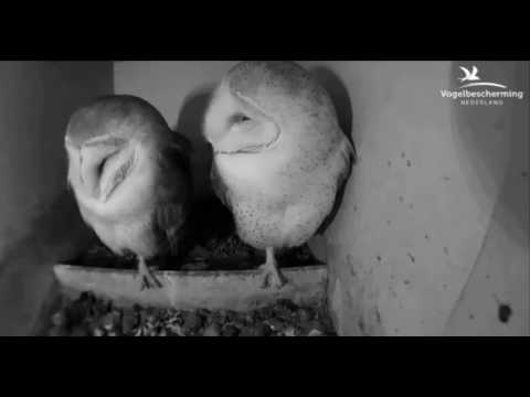 Female Pulls Male's Feathers - 23.03.17