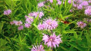Hummingbird Moth Video - Hemaris Thysbe - Hummingbird Clearwing - Gathering Nectar From Bee Balm