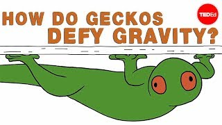 How do geckos defy gravity? – Eleanor Nelsen