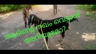 Goat Farm In Thrissur, Part 3