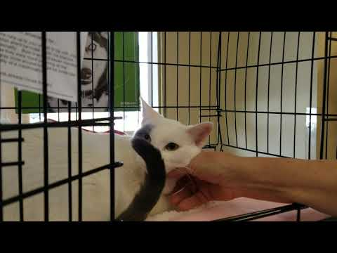 Bolt, an adopted Turkish Van Mix in Mission Viejo, CA_image-1