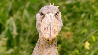 A Grumpy Shoebill Explains Antiques Roadshow | Walk On The Wild Side | Funny Talking Animals
