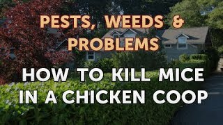 How to Kill Mice in a Chicken Coop