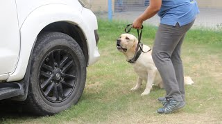 How Canine Sniffer Dogs Are Trained To Detect THINGS ♡ HERO Labrador RETRIEVER ♤LABRADOR | Scoobers