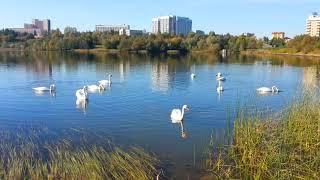 Лебеди прилетели на озеро, драка лебедей😁