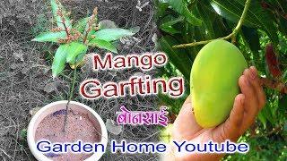 Mango V Grafting Technique Faster (Garden Home)