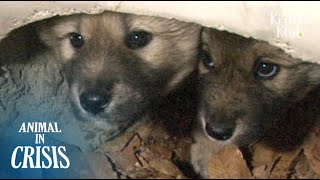 Puppy Siblings Stuck Inside A Drainage Pipe Keep Each Other Alive   Animal in Crisis EP84