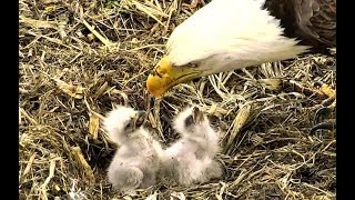 Feeding, fighting and falling over at Decorah Eagles North. 22 May 2018