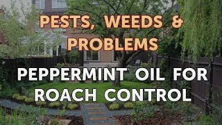 Peppermint Oil for Roach Control