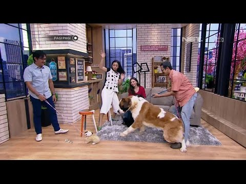 Jahilnya Andre Ngerjain Dua Anjing Saint Bernard Super Gede