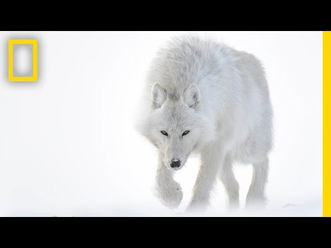 Photographer Captures Stunning Arctic Wildlife | Short Film Showcase