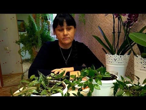 Мои комнатные растения  // Отвечаю на ваши вопросы:  Про хойи и книги