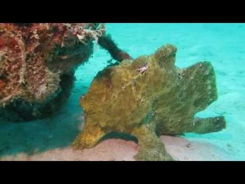 Anglerfisch/Frogfish, Insel Mabul,Malaysia