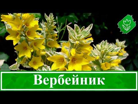 Цветок вербейник – посадка и уход в открытом грунте: выращивание в саду и размножение, виды и сорта