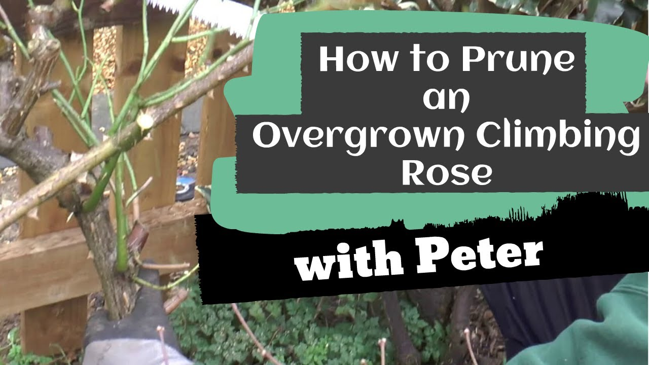 Pruning an Overgrown Climbing Rose