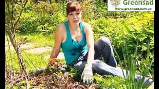 Смотреть онлайн Навоз лучшее удобрение для роз и как его использовать