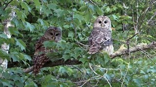 Double Barred Owl Release - Hope for Wildlife