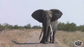 Watch Spectacular Large Tusker Elephant In Action