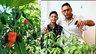How To Care For Chilli Plant | Gardening Tips For Hot Peppers