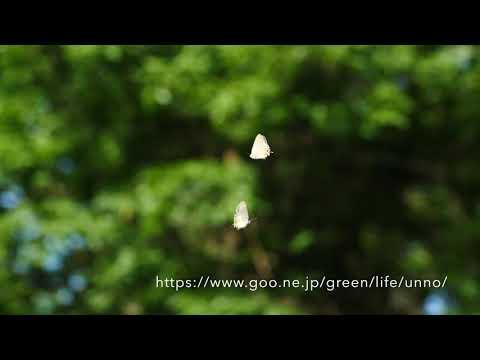 ジョウザンミドリシジミのテリトリー飛翔 Territorial behaviour of Favonius aurorinus