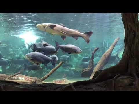 新屋島水族館【公式】ジャングル水槽 〜お魚のお食事の時間〜
