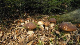 Справжні гриби Карпат 2017