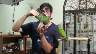 Truman Cape Parrot - Early Taming Exercises