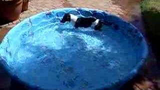 Dachshund Swim