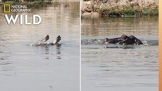 Hippos Grieving: First Confirmed Video | Nat Geo Wild