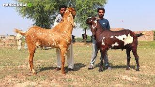Outstanding  Giant Goats - Biggest Beetal Goats Of Sahiwal Pakistan 2019