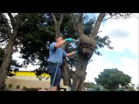 Video Treating a termite nest in a tree 2015