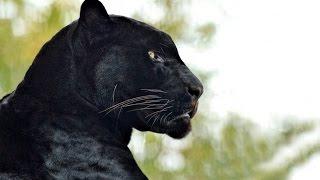 Чёрная пантера - Black Panther (Энциклопедия животных)