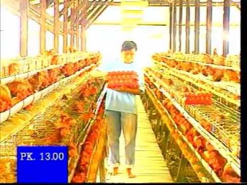 Video Manajemen Ayam Petelur