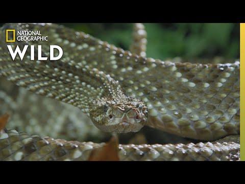 The Cascabel Rattlesnake | World's Deadliest Snakes