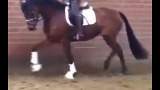 SOLD 2013 Hanoverian mare by Benicio www.sporthorses-online.com