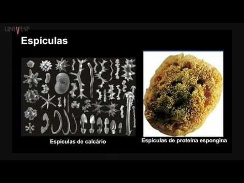A platyhelminthes testterve az evolúció összefüggésében
