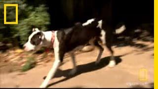 Territorial Pit Bull Mix | Dog Whisperer thumbnail