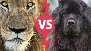 Top 10 Dogs Breeds That Look Like Lion