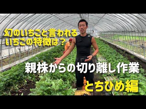 , title : '【いちご栽培 いちご農家】親株からの切り離し作業 幻のいちごと呼ばれるとちひめ編